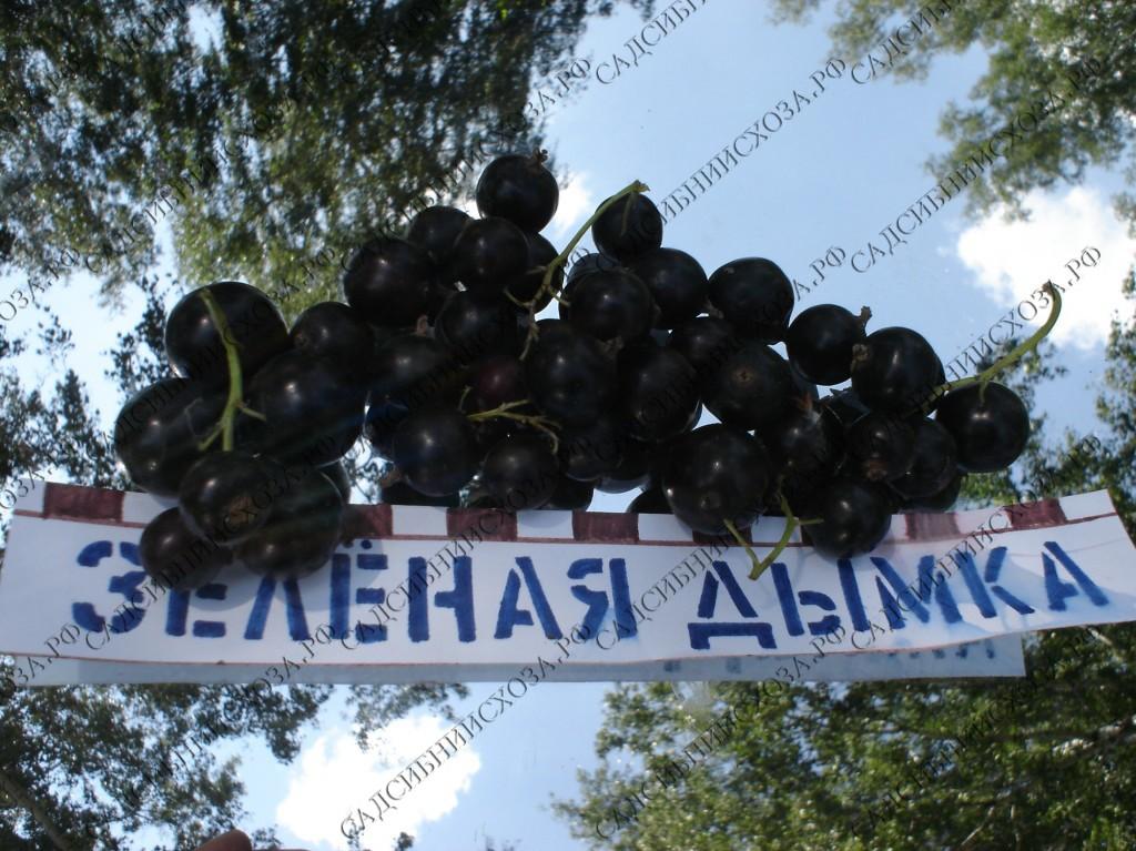 Сорт смородины черной Подарок Кузиору 13